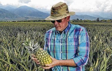 ¿Por qué Riopaila le está apostando al cultivo de piña?